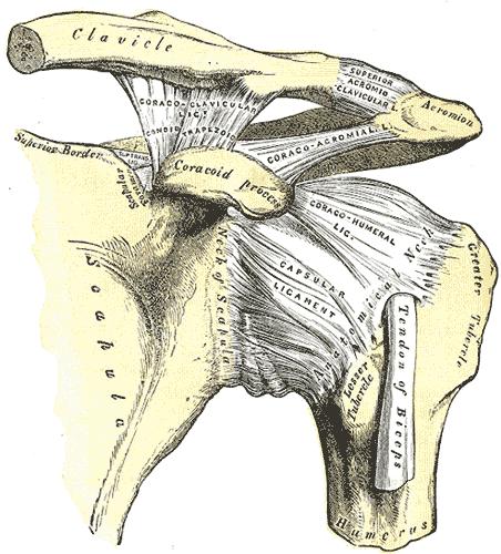 Shoulder Pain anatomy