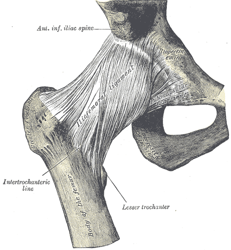 hip joint with ligaments