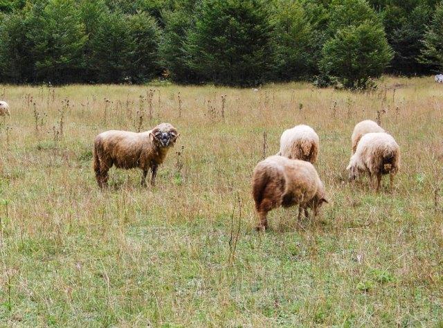 Sheep in Grbaja