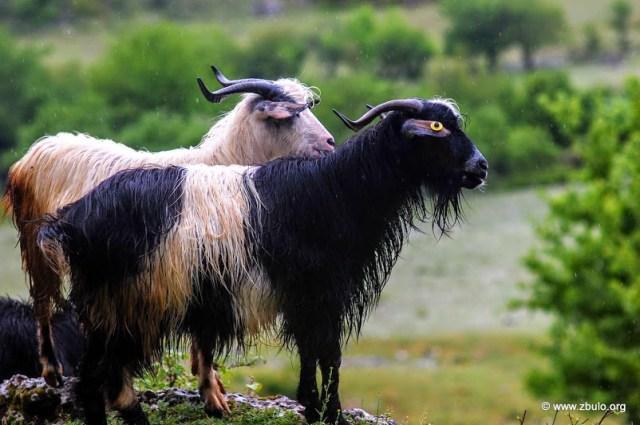 On the higher barren slopes goats scavange for food.