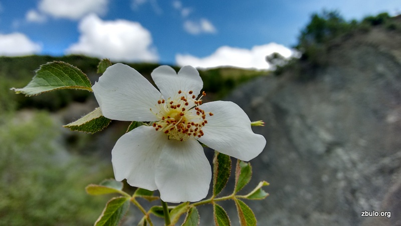 There are nice flowers in the spring time (wild rose)