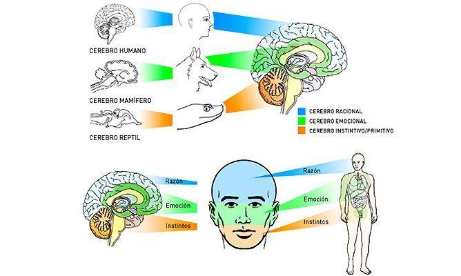 cerebro eneagrama - eneatipo