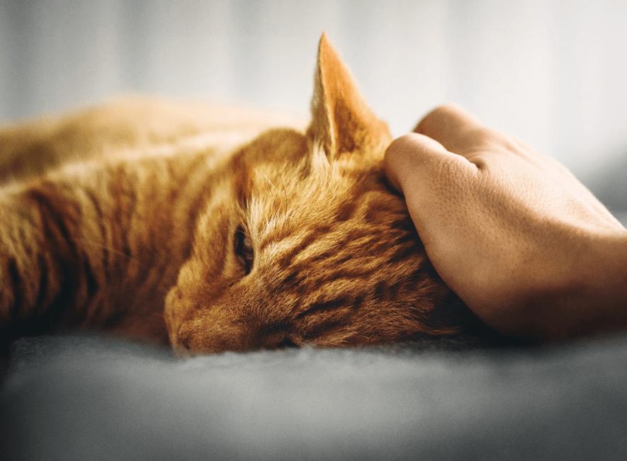 La toxoplasmosis: ¿pueden convivir una embarazada y un gato?