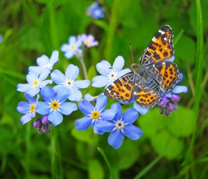 Butterfly and Forget-Me-Nots