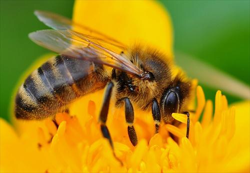 Včelí žihadla – zázračným lékem