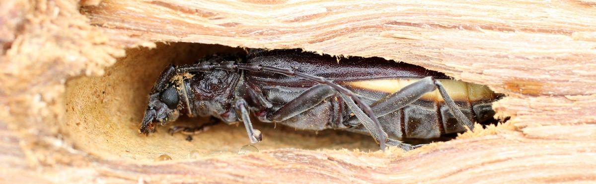 insectes parasites du bois energie plus le site