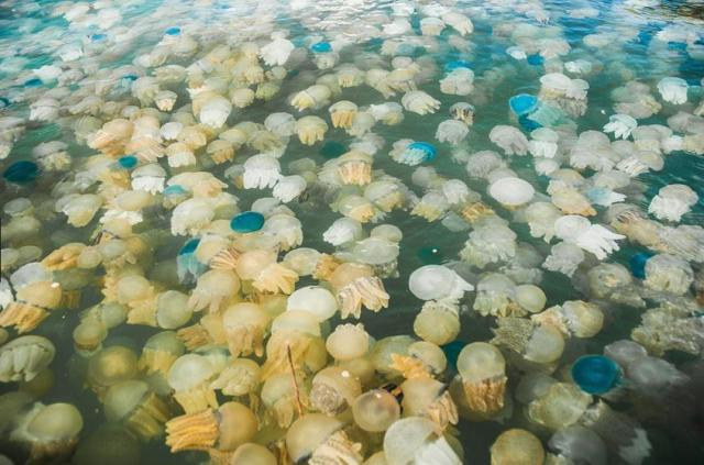 This image has an empty alt attribute; its file name is jellyfish-hundreds.jpg