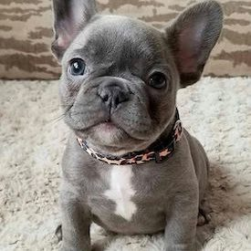 French-Bulldog-Names-2