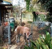 Southern Urban Homestead bison april fools nellieback40 Allison Adams