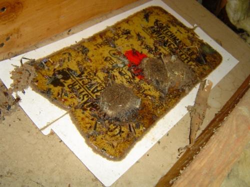 dead bats attic halloween
