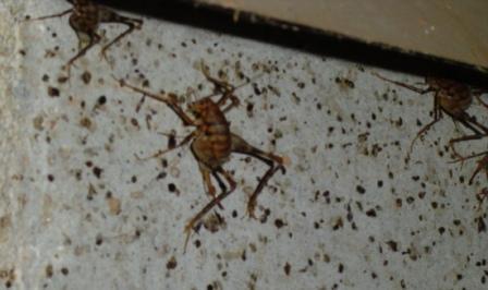 crawl space camel cricket