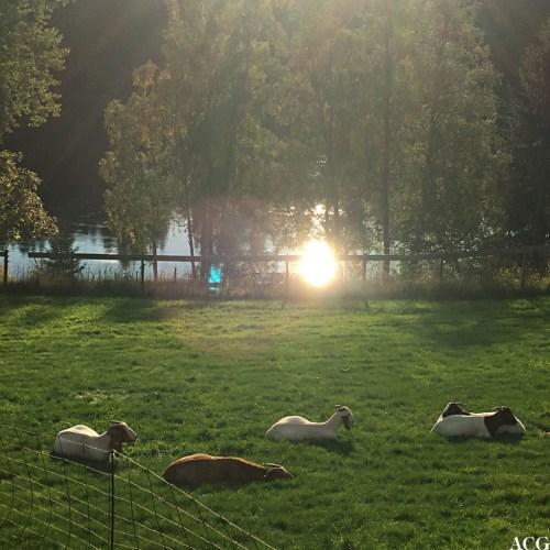 Geiter i Gamle Fossenvegen på Eidsvoll
