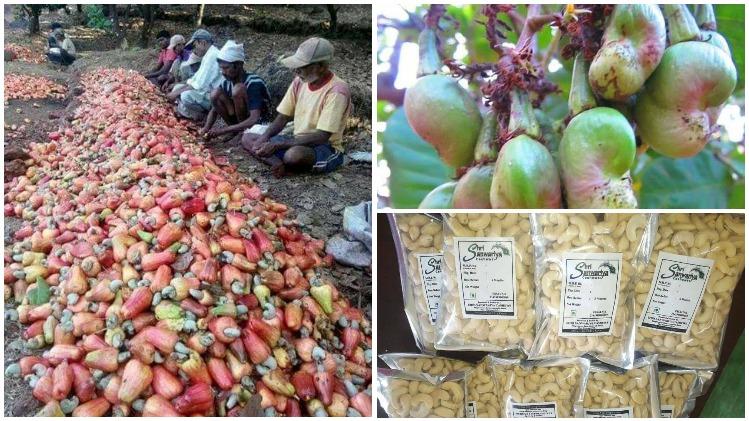 काजू उत्पादक किसान महाराष्ट्र आर्थिक