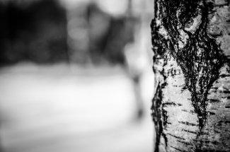 Le bouleau est un arbre aux multiples vertus.