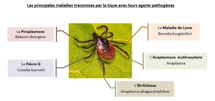 Il faut savoir que la tique est porteuse de nombreux agents pathogènes dont celui de la Maladie de Lyme.