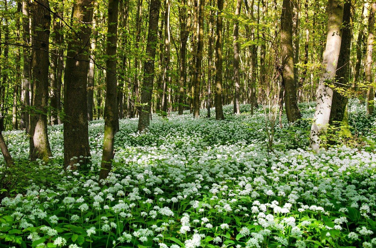 Lorsque l'ail des ours à trouver sa place dans les sous-bois, il est capable de tapisser le sol de nos forêts.