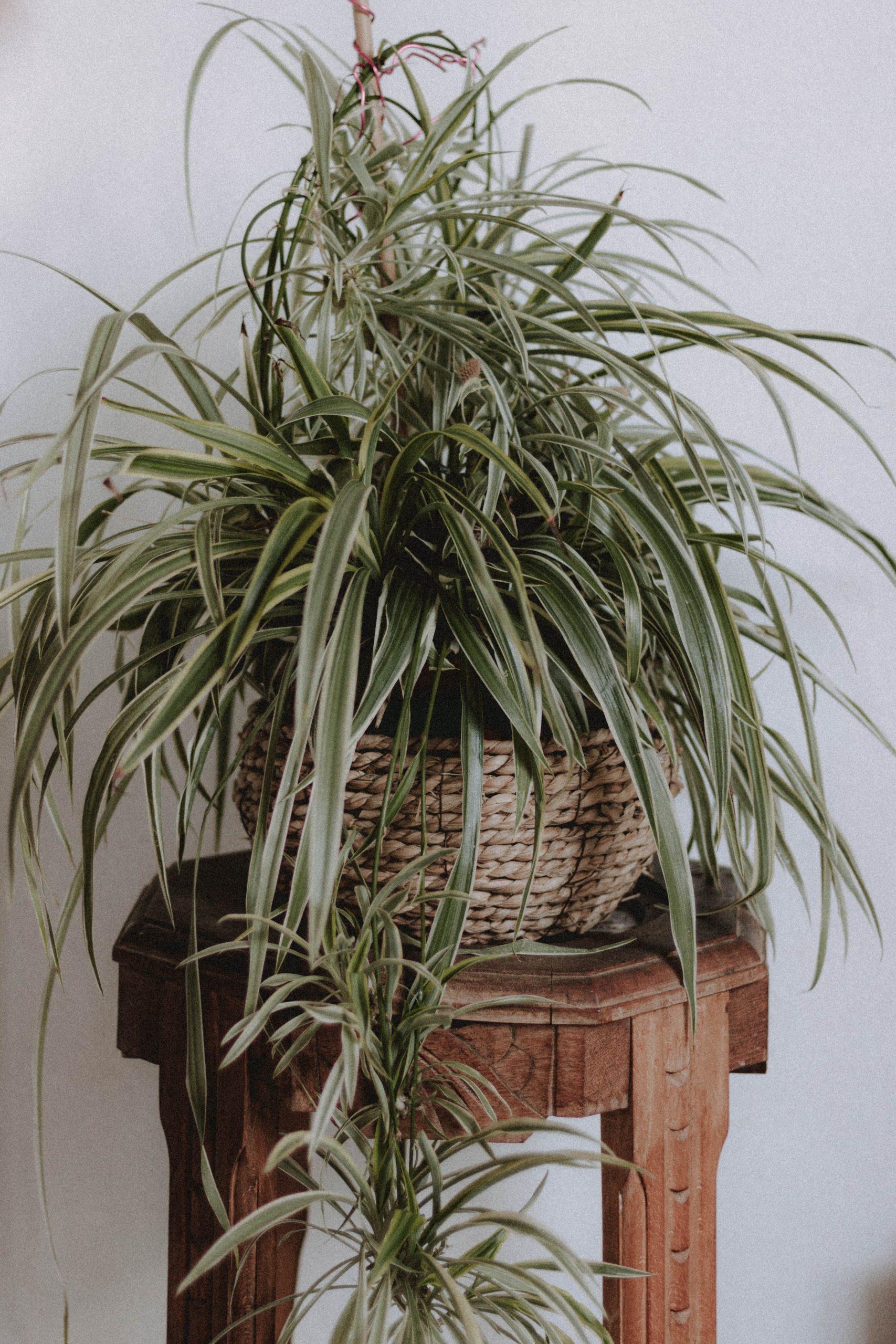 Agrémentez votre intérieur des plantes araignées permet de faire entrer un peu de nature chez vous.