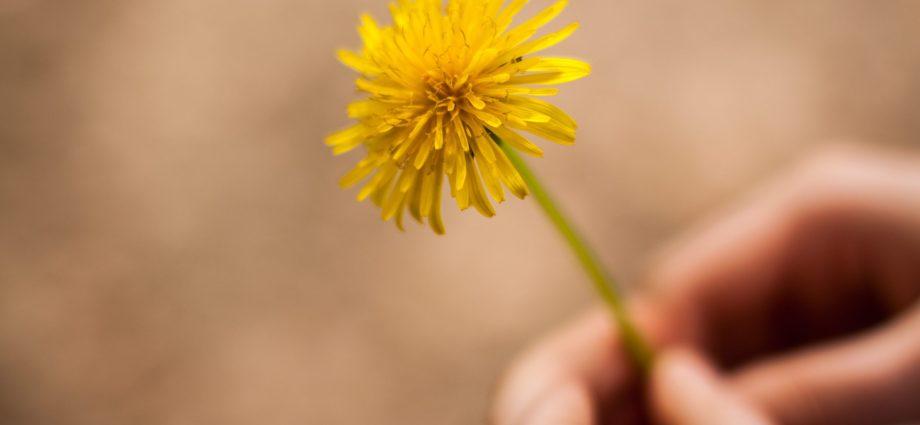 Le pissenlit est la fleur de saison du printemps et de l'été. Idéal à manger mais aussi pour jouer.