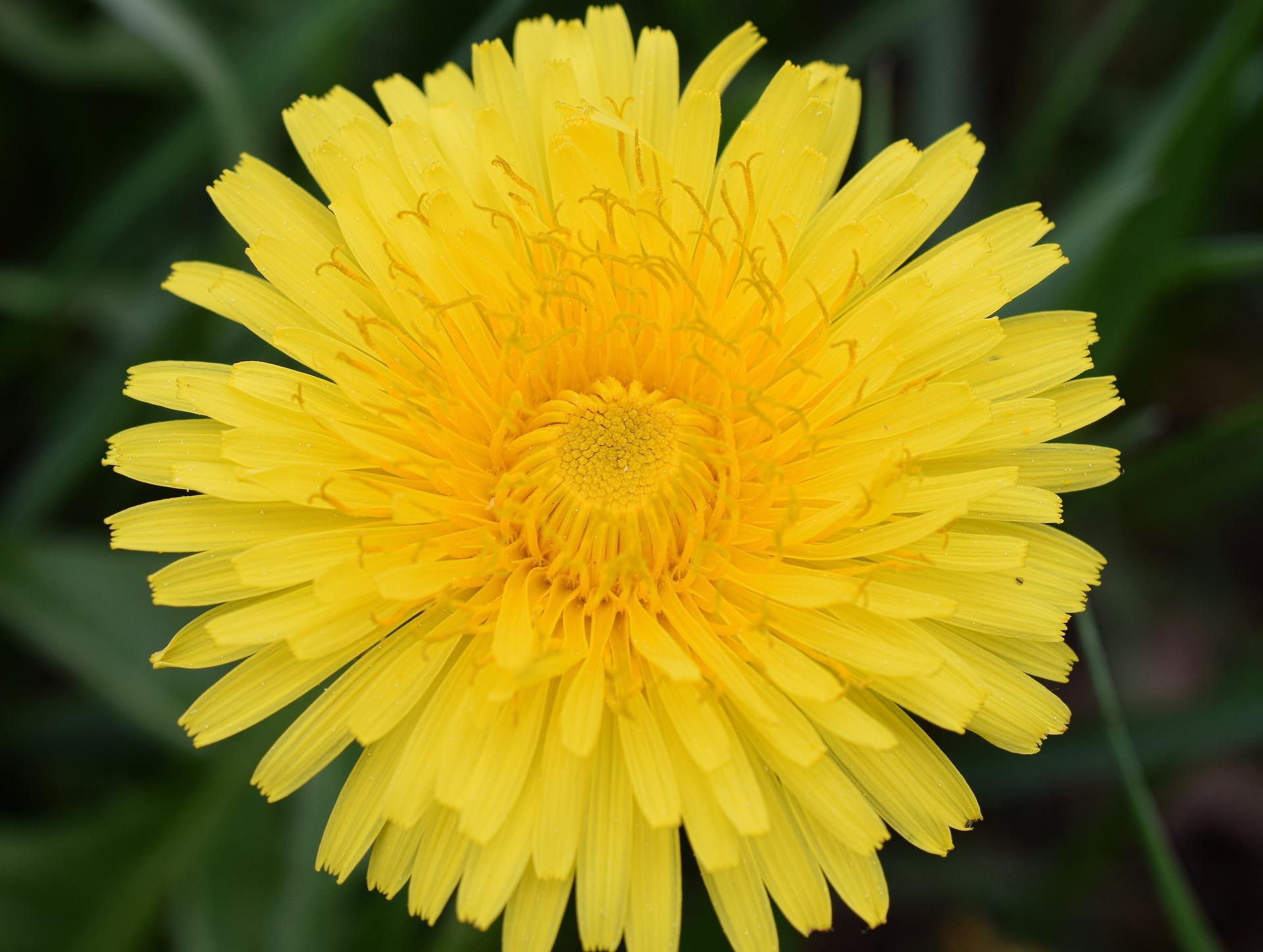 Le pissenlit n'a pas une fleur mais plein ! Chaque ligule jaune est une fleur !