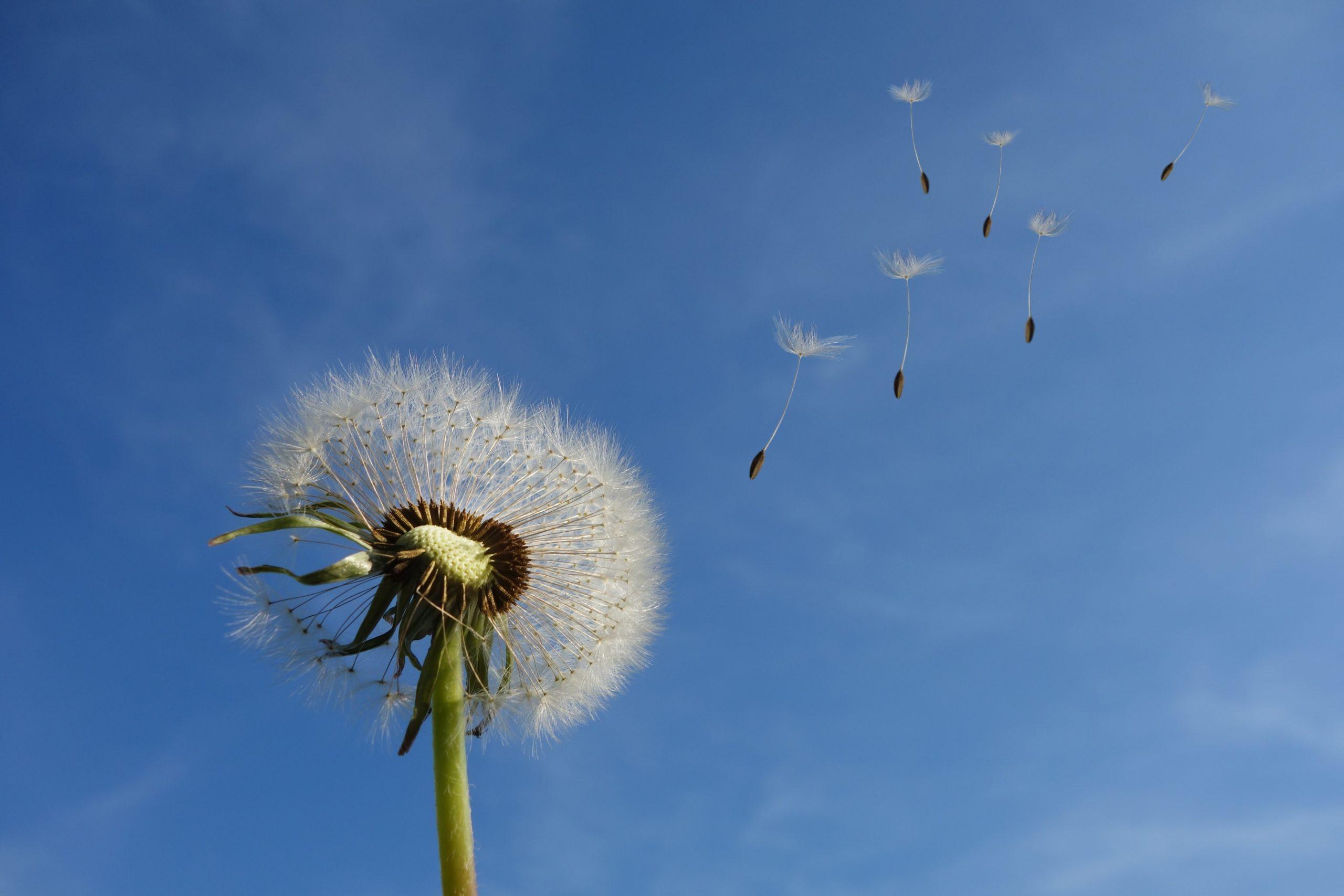 Ces petites choses toutes douces sur lesquelles on adore souffler sont les fruits du pissenlit, autrement appelés akènes. On parle de parachute.