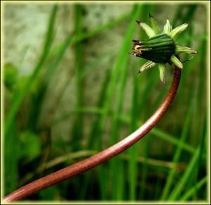 Les boutons floraux du pissenlit se consomment comme les câpres ou les pickles, dans du vinaigre.