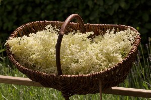 Prenez le temps d'humer le doux parfum des fleurs de sureau noir que vous récoltez !