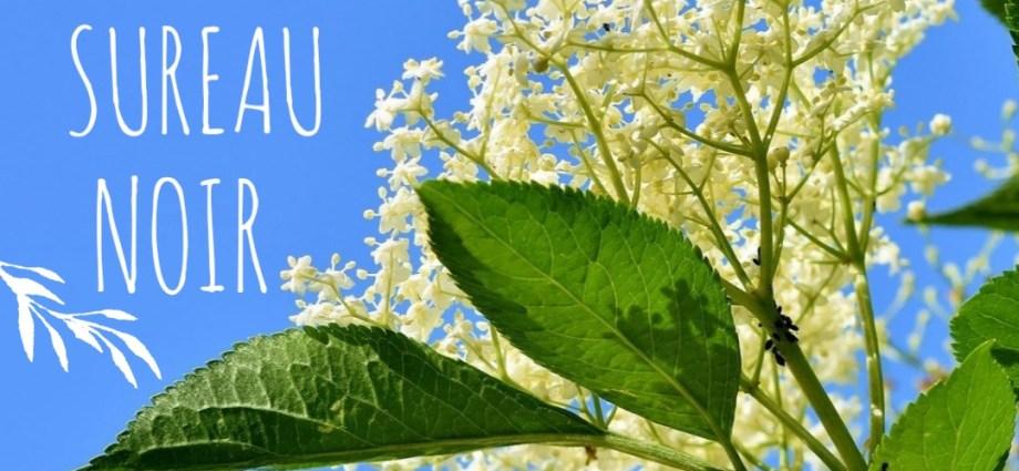 Le sureau noir est à l'honneur à la fois pour ces fleurs et pour ces fruits.