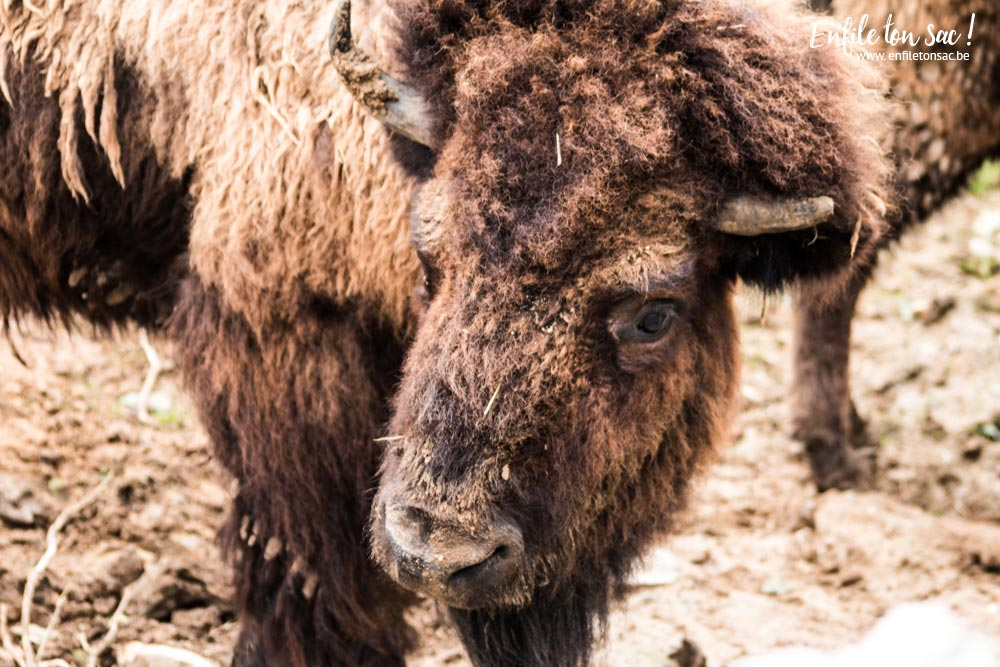pairi daiza bison Pairi daiza saison 2016   Bilan 1mois après la réouverture.