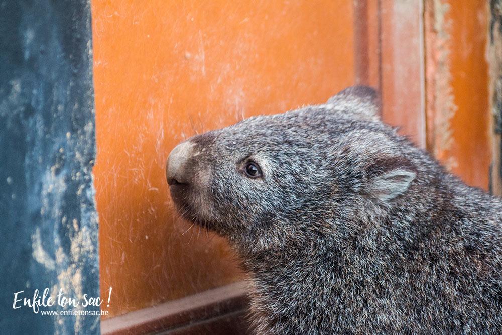 wombat pairi daiza Pairi Daiza Estivales 2016 , mon avis, photos et vidéo.