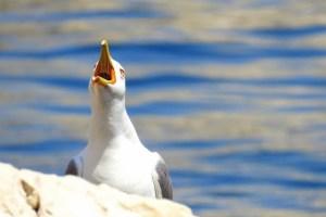 goéland sur les Îles du Frioul