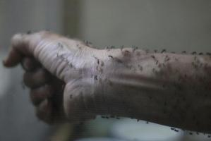 Forearm of a public health technician is seen covered with sterile female Aedes aegyti mosquitoes after leaving a recipient to cultivate larvae, in a research area in Guatemala City