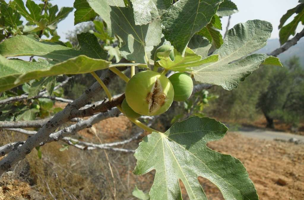 Figs…A Gift from the Middle East to the World