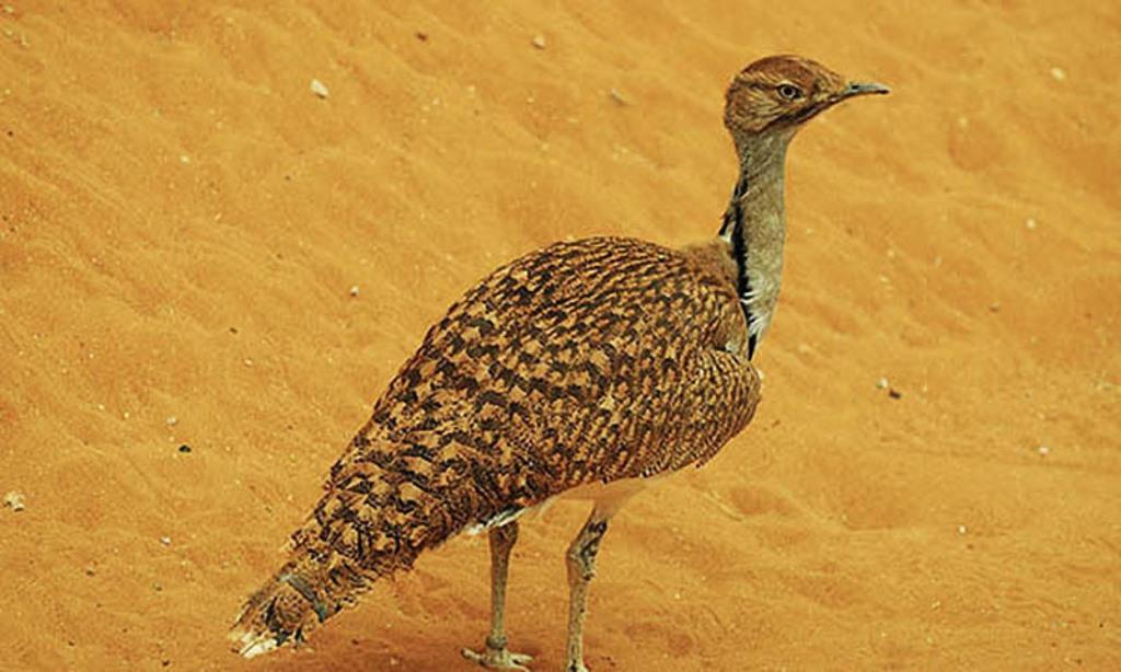 Pakistani Villagers Attack Qatari Convoy Hunting Rare Bird