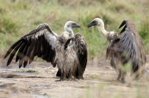 Vultures fight over a carcass on December 10, 2007 in the Masai Mara Game Reserve, Kenya. December 10, 2007. PHOTO: Getty Images