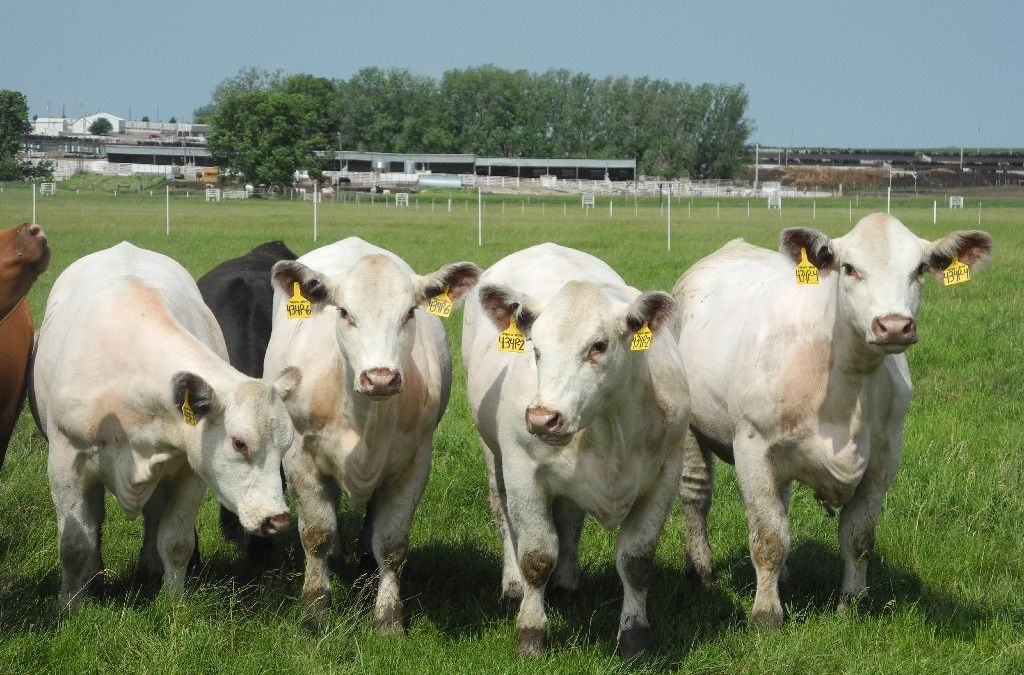Cows Enjoy Maternity Leave in Germany