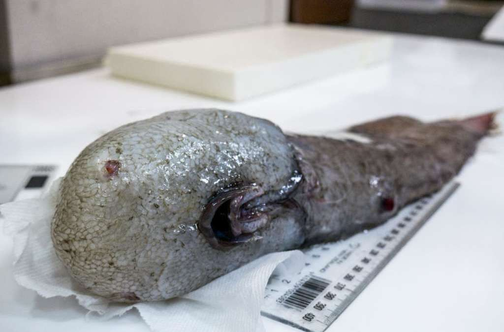 Faceless Fish, Bizarre Creatures Found in Australia
