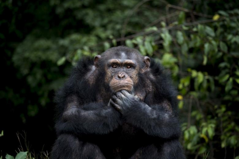 Chimps Are Not People, Cannot Be Freed From Custody