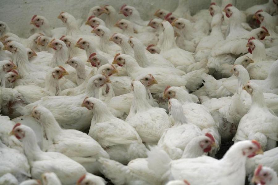 Alive Chicken…New Home Delivery Service in Austria