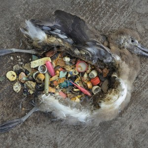 plastic-in-dead-sea-bird