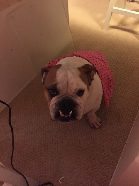Bulldog with Fabric