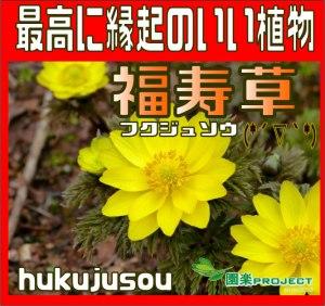 福寿草表紙