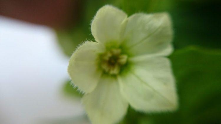 ホオズキの花