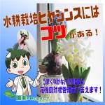 ヒヤシンス-水耕栽培表紙