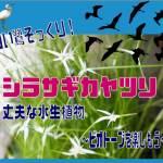 シラサギカヤツリ表紙
