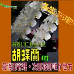 胡蝶蘭01表紙