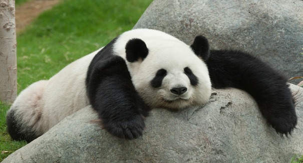 Oso panda tranquilote