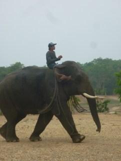 Mit Ketten ziehen die Elefanten die Baumstämme aus den Wäldern
