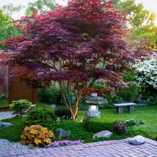 Bloodgood Japanese Maple Acer palmatum _Bloodgood_ (ideas for plantings beneath)