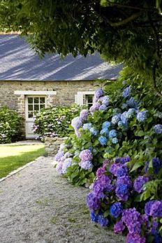 Blue and purple hydrangea hedge in a garden by a stone cottage via _thouswellblog