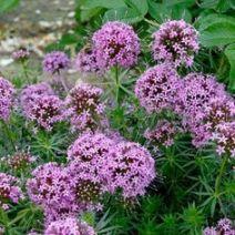 blühende bodendecker Phuopsis (Crucianella) stylosa rosenwaldmeister